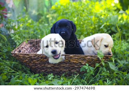Group of adorable golden retriever puppies in the yard in the basket on the green grass - stock photo