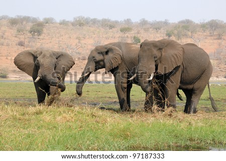 Group of adult elephants grazing at Chobe national park in Botswana, Africa - stock photo