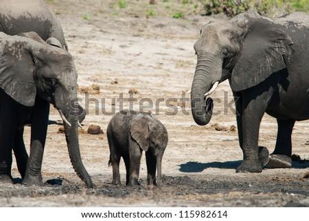 Group of african bush elephants (loxodonta africana) - stock photo