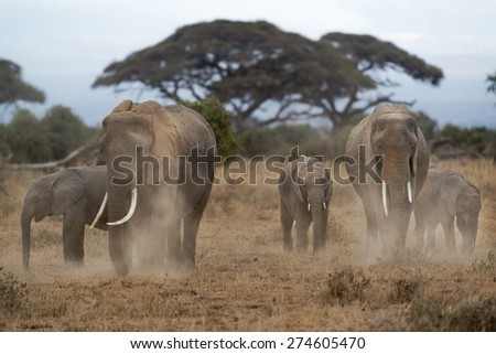 Group of African bush elephants  (Loxodonta africana) dusting to protect their skin from biting insects, Kenya - stock photo
