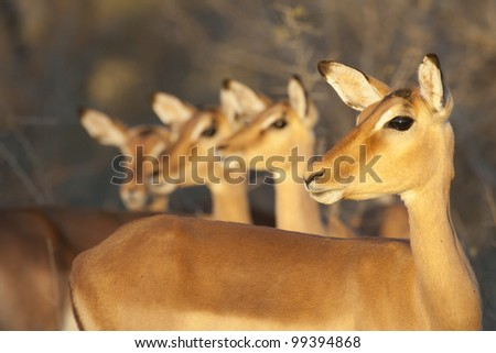 Group of alert female Impala (Aepyceros melampus), South Africa - stock photo