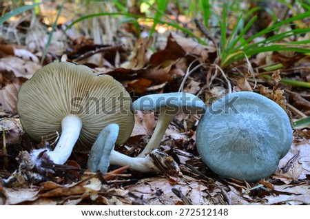 Group of Aniseed Funnel or Clitocybe odora mushroom in natural habitat, edible and spicy mushroom, commonly used for seasoning because of the strong smell - stock photo