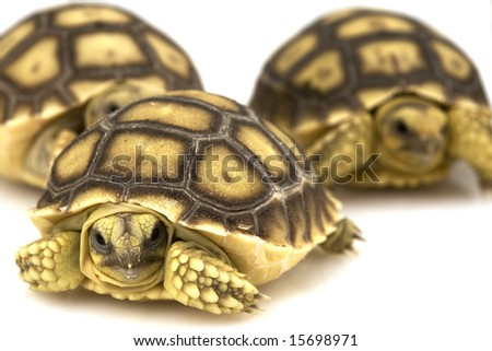 Group of baby African Spurred Tortoises (Geochelone sulcata) - stock photo