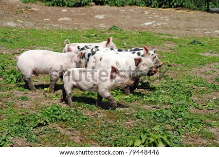 group of baby pigs - stock photo