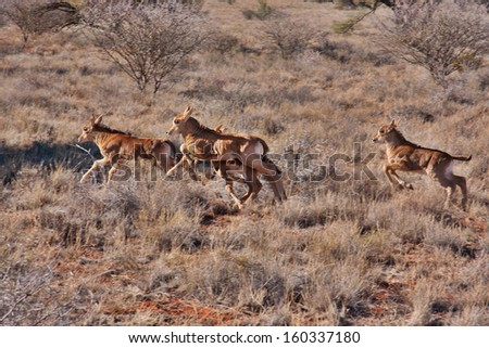 group of baby sable antelope running in South Africa, a panning shot showing movement - stock photo