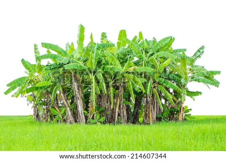 group of banana tree with fresh green grass isolated on white  - stock photo
