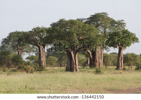 Group of baobab trees with green leaves - stock photo