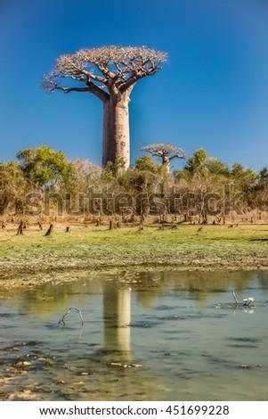 Group of baobabs and their reflection in a pond, Avenida de Baobab near Morondava in Madagascar - stock photo