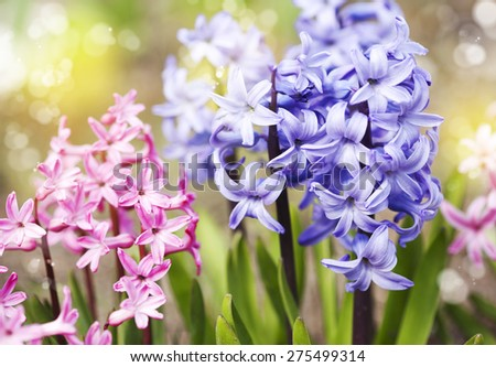 Group of beautiful multicolored hyacinths in garden. - stock photo