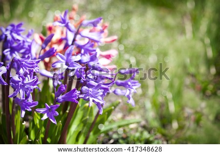 Group of beautiful multicolored hyacinths in garden - stock photo
