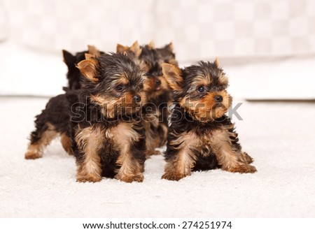 Group of beautiful puppies york terrier in a bright room. Several beautiful York Terrier puppies in a bright room. Cute Yorkshire Terrier puppy two months of age. New batch. - stock photo