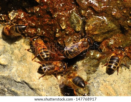 Group of bees apis mellifera on a wet rock and drinking mountain spring water