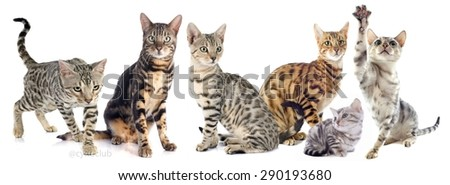 group of bengal cats on a white background - stock photo