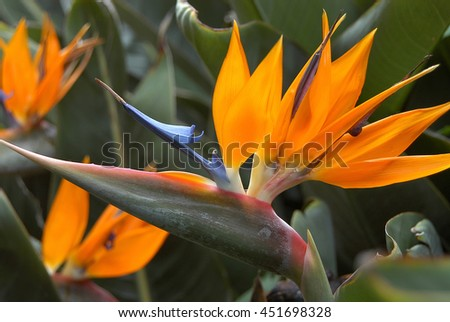 Group of birds of paradise flowers, known as Strelitzia Reginae, in a garden of Tenerife, Canary Islands