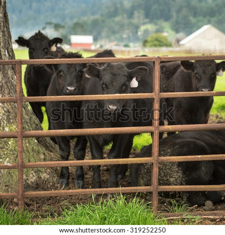 Group of Black Angus cows staring through a metal fence. Ferndale, California. - stock photo