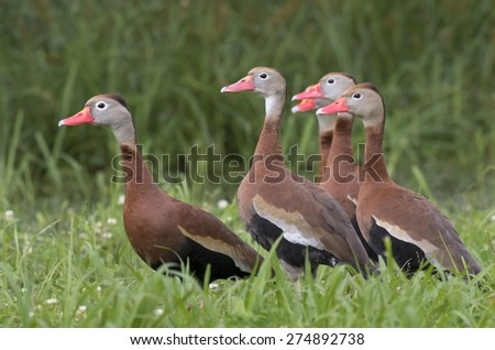 Group of black-bellied whistling ducks (Dendrocygna autumnalis), Brazos Bend state park, Needville, texas, USA - stock photo