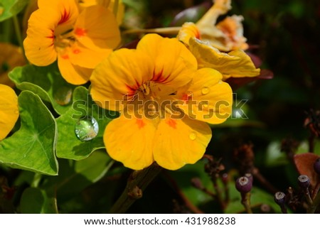 Group of Bloomed Nasturtiums in Garden