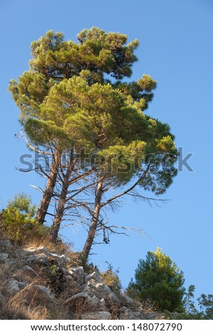 Group of bright pine trees grows on the rock with clear blue sky on a background