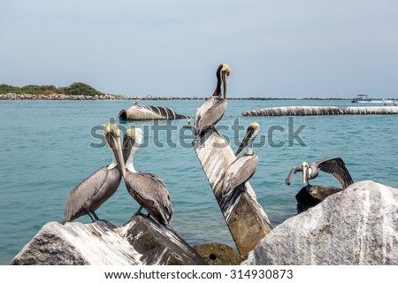 Group of Brown pelicans. The Florida Brown Pelican (Pelecanus Occidentalis) is  the smallest of all pelicans in the United States