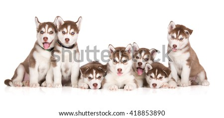 group of brown siberian husky puppies posing together on white