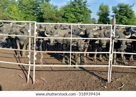 group of buffalo in stalls, thailand