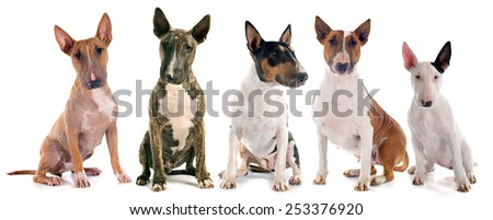 group of  bull terrier in front of white background