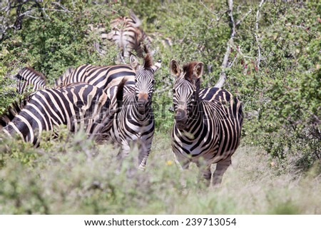Group of Burchell's Zebra. South Africa, Kruger National Park. - stock photo