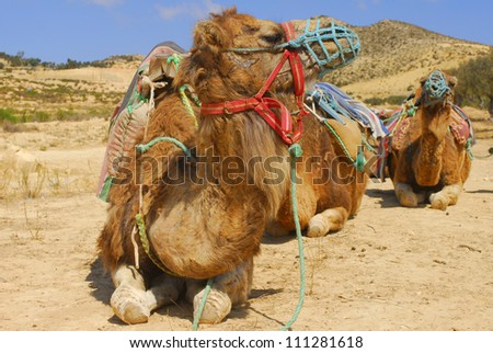 Group of camels in tour for Tunisian land - stock photo