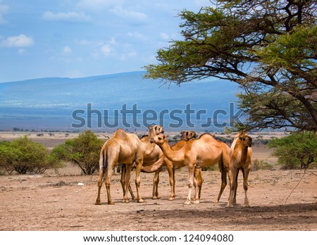 Group of camels under the tree in Africa