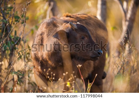Group of Cape buffalo (Syncerus caffer), Kruger National Park - stock photo