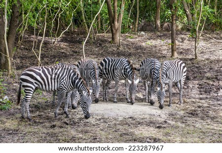 group of captive Grant's zebra (Equus quagga boehmi) feeding in zoo habitat