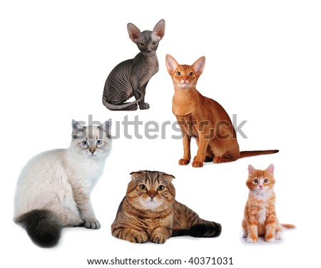 Group of cats different breed isolated on white. Siberian, abyssinian, scottish fold, sphinx and mix-bred kitten. all looking at camera.
