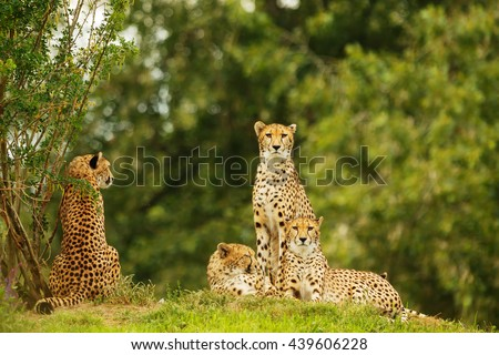 group of cheetah waiting in bush. Cheetah are resting in the shadow.