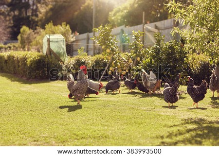 Group of chickens walking around a green lawned garden on a free range urban farm, with gentle sunlight - stock photo
