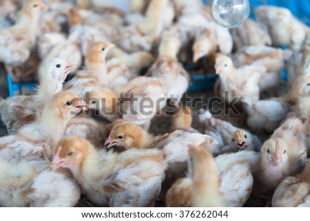 Group of chicks crowded in farm