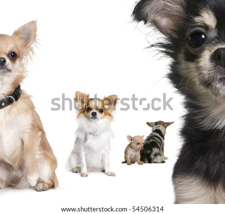 Group of Chihuahua in front of white background - stock photo