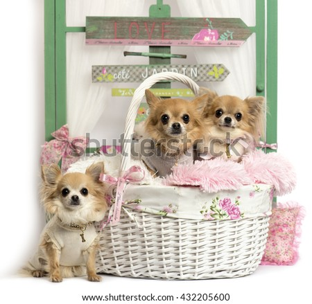 Group of Chihuahua sitting in front of a rustic background - stock photo