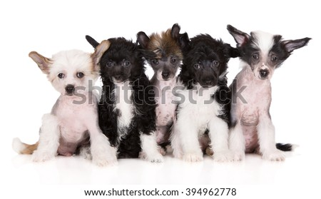 group of chinese crested puppies