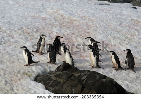 Group of chinstrap penguins walking on snow, Half Moon Bay, Antarctica