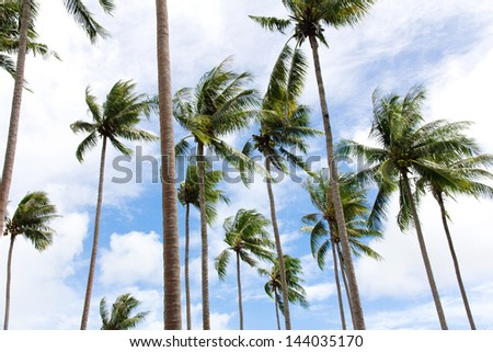 Group of coconut palm trees