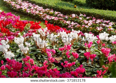 Group of colorful cyclamen flowers blossom in flower garden - stock photo