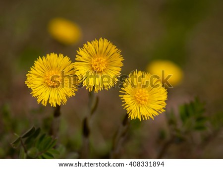 Group of coltsfoot flowers on blurred background. (Tussilago farfara). Selective focus. - stock photo