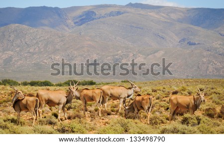 Group of common elands (Taurotragus oryx), the largest of all antelope in Africa at africal bush - stock photo