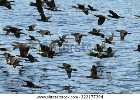 """Group of cormorants in the """"Müritz National Park"""" (Germany) - stock photo"""