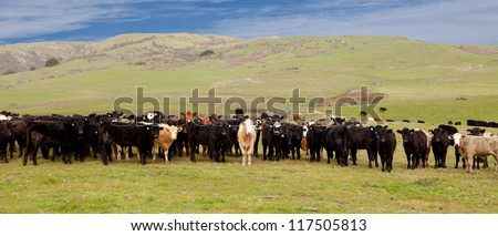 Group of Cows on Green Hills