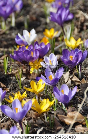 Group of crocuses in different colors