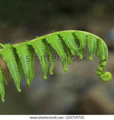 Group of curly ferns leaf with dark background - stock photo