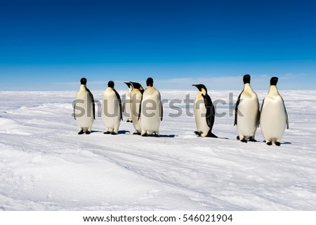 Group of cute Emperor penguins having a party