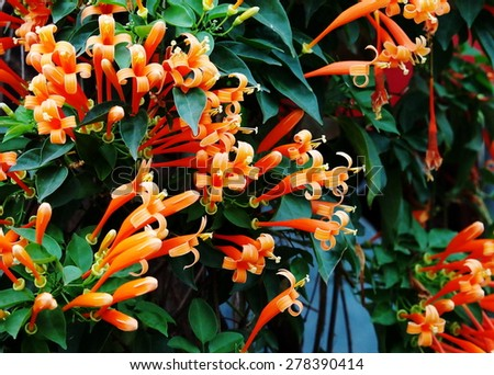 group of cute small beautiful tropical flowers, orange trumpet, Flame flower, Fire-cracker vine, Pyrostegia venusta, growing vertical on a house fence as decorative plant in Thailand and tropical zone - stock photo