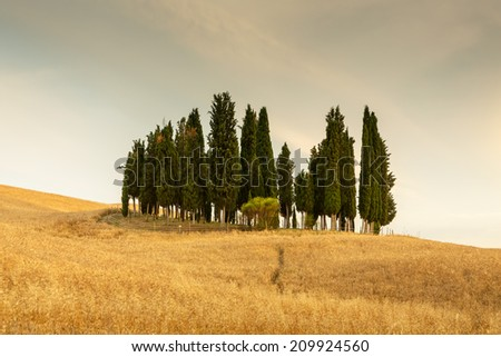 Group of cypresses near San Quirico d�´Orcia, Tuscany, Italy - stock photo
